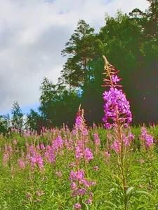 В поле цветёт кипрей