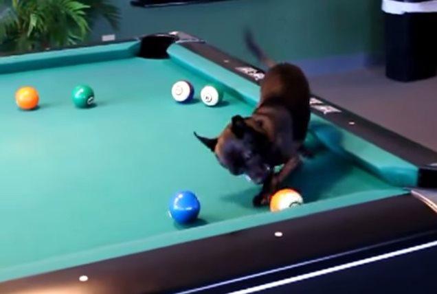 Видео— Собачка лихо играет в бильярд