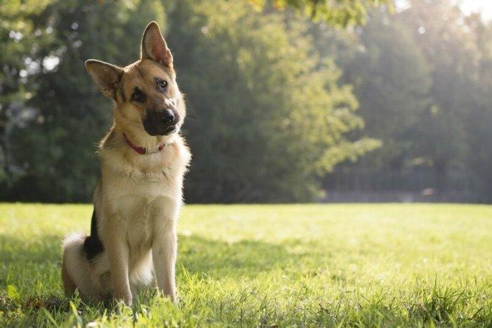 Причина, почему собаки наклоняют голову набок, когда нас слушают