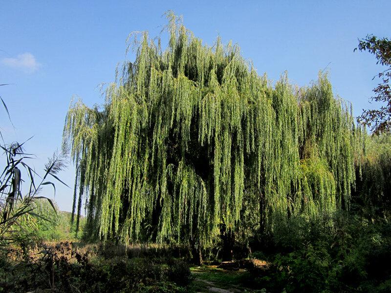 нужный дерево ветла фото рассчитана так, что