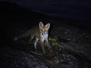 Ночью в гости заходят лисы и мишки