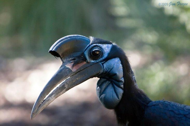 Кафрский рогатый ворон
