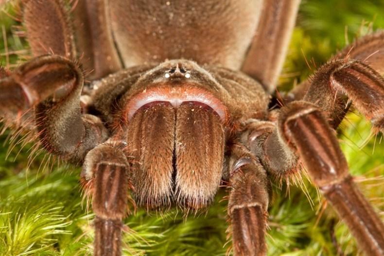 Паук птицеед, самый большой паук в мире