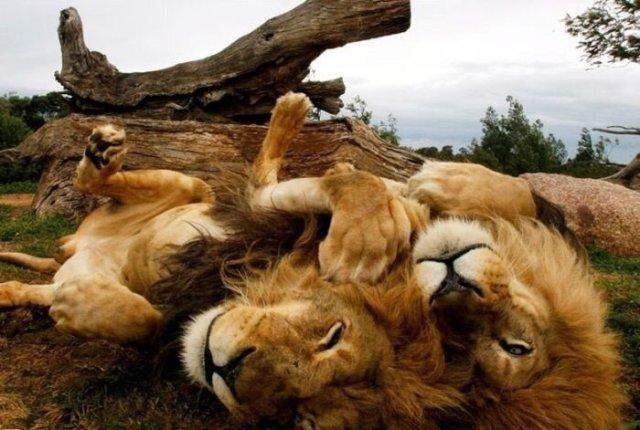 Большие фотографии больших кошек