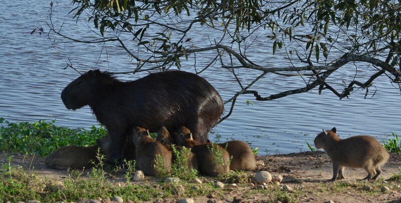 Фото капибары: Водосвинка и водопоросята