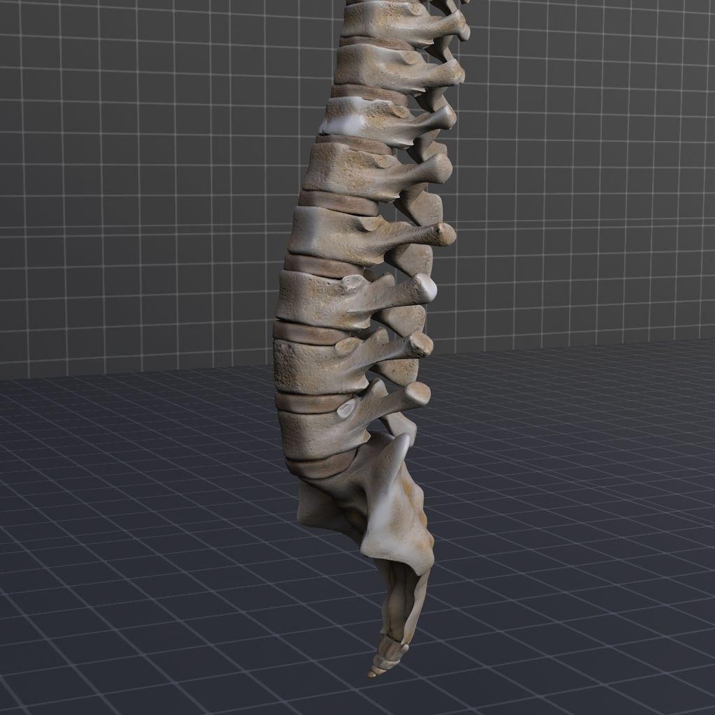 Human Spinal Cord Anatomy 3d Model X Obj 3ds Fbx