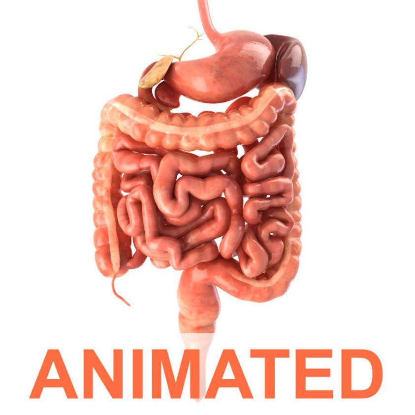 Digestive system Animated 3D asset | CGTrader
