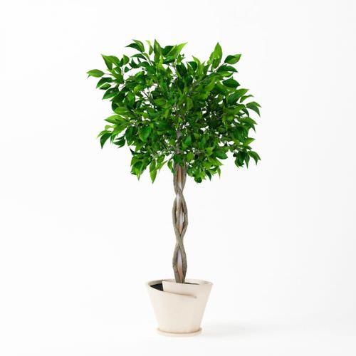 Apartment Plants Braided Ficus Tree Best Plants for Apartments Indoor