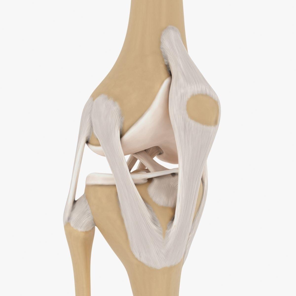 3d Model Knee Joint