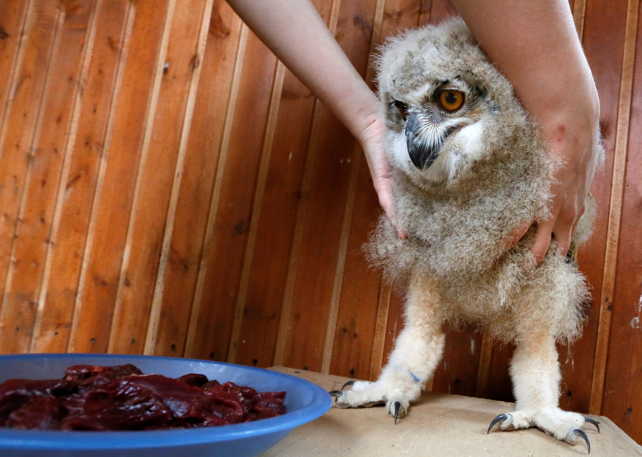 Слайд 34 из 67: A zoo employee feeds a 3-week-old Eurasian eagle owl at the Royev Ruchey zoo on the suburbs of the Siberian city of Krasnoyarsk, Russia June 7, 2016.