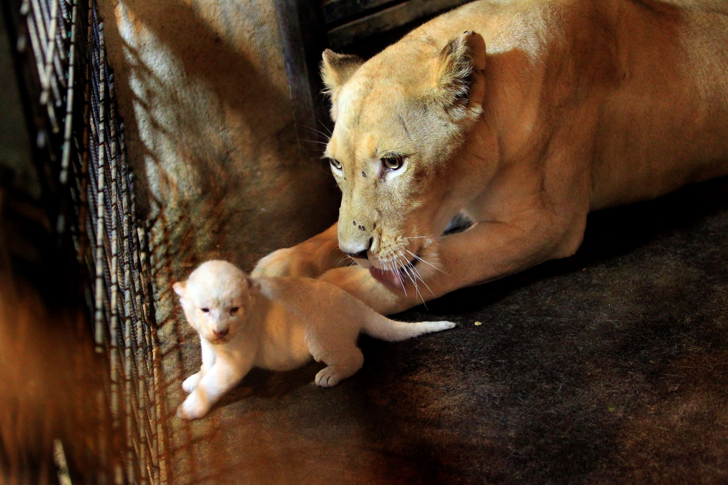Слайд 28 из 67: White tigress Cleopatra pets one of three newly born tiger cubs in Tbilisi Zoo, Georgia, Wednesday, Aug. 3, 2016. Triplet cubs of a rare breed of white lion have been born in Tbilisi zoo. It is the first addition to the lion family since the devastated f