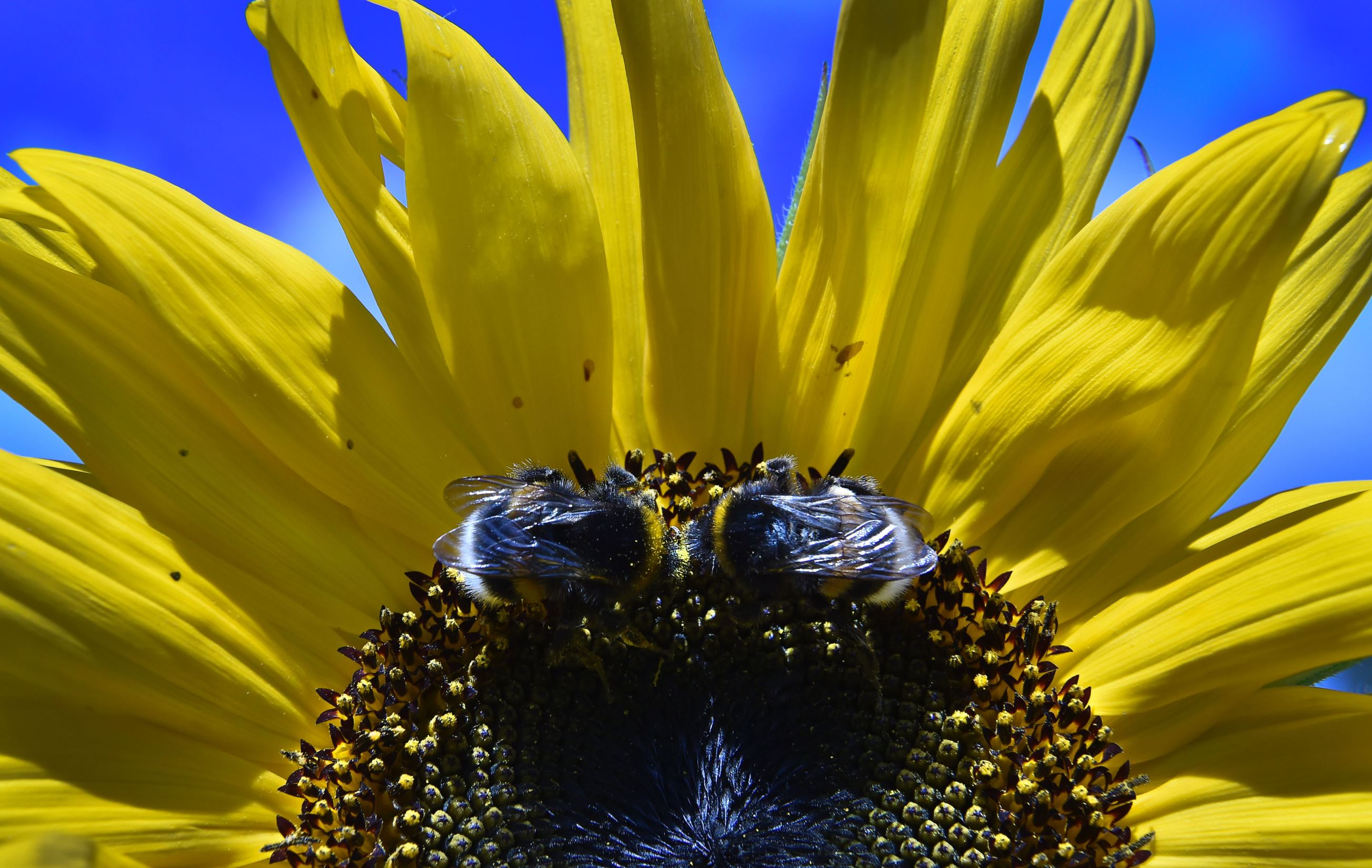 Слайд 6 из 67: Two bumblebees collect pollen from a sunflower in a garden outside Moscow on August 16, 2016. / AFP / YURI KADOBNOV        (Photo credit should read YURI KADOBNOV/AFP/Getty Images)
