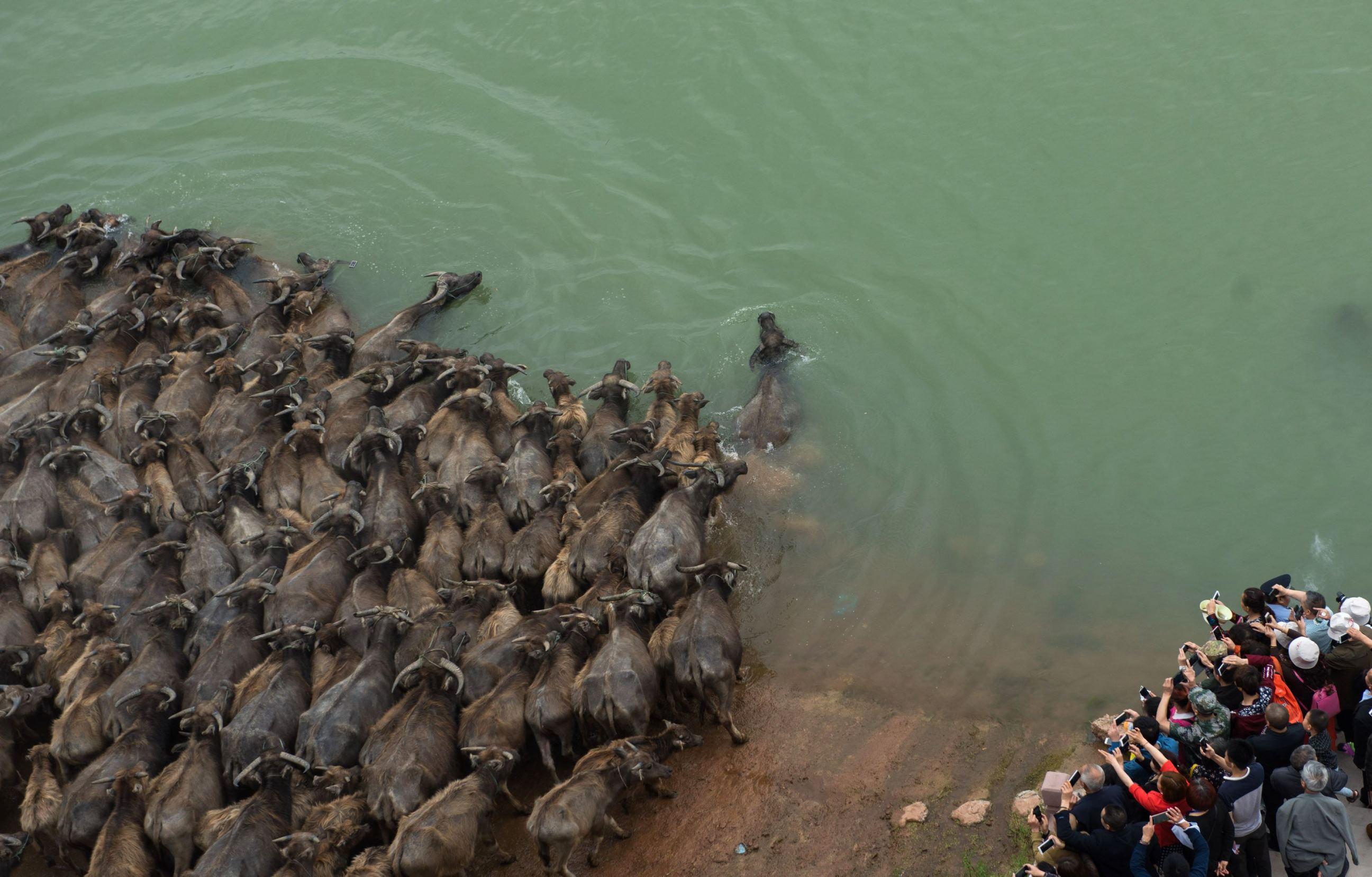 Слайд 43 из 67: Cattle swim across Jialing River, Fanggou, Peng'an County, Sichuan Province, China - 29 Apr 2016 Tourists watch cattle swimming in Jialing River