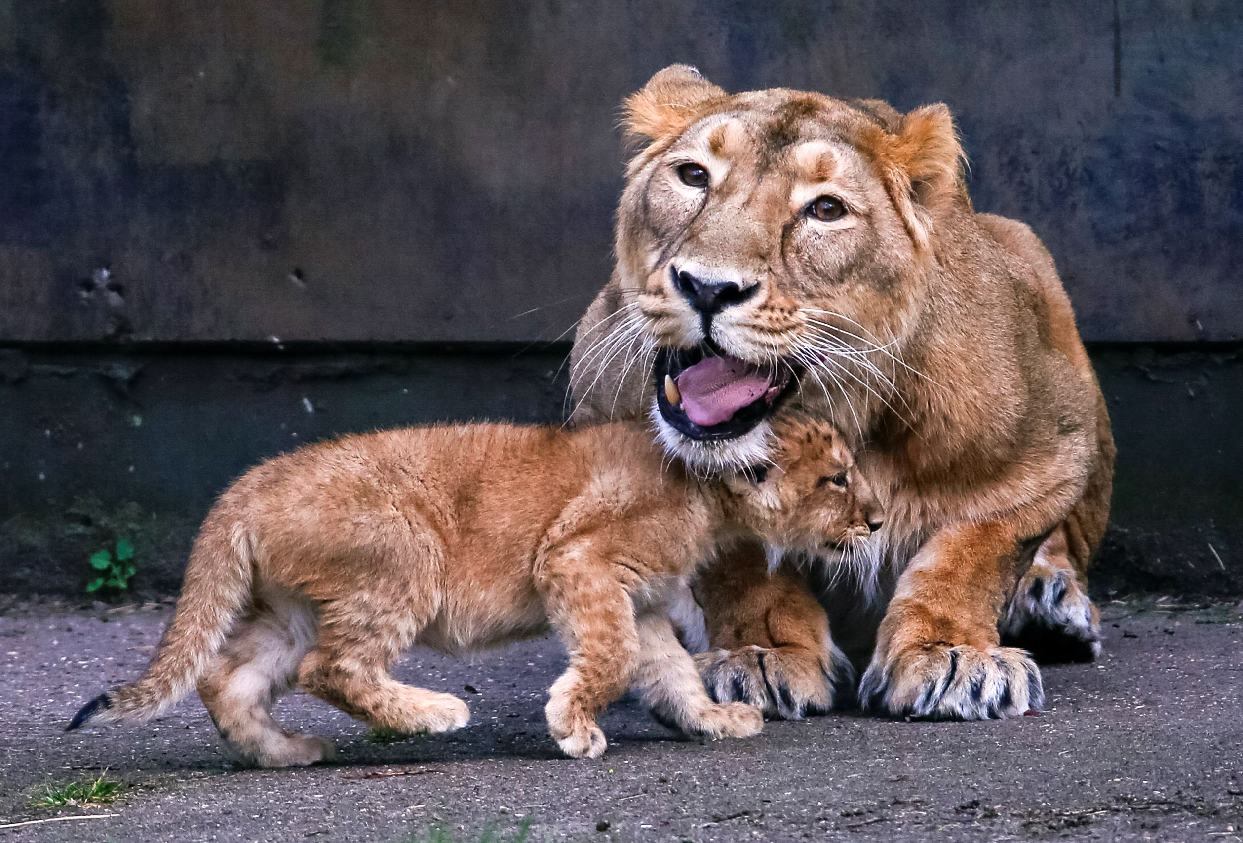 Слайд 47 из 67: An Asian lion cubs, born on January 25, 2016, walks next to his mother Lorena while being presented to the public at the Planckendael Park in Mechelen, Belgium March 30, 2016.