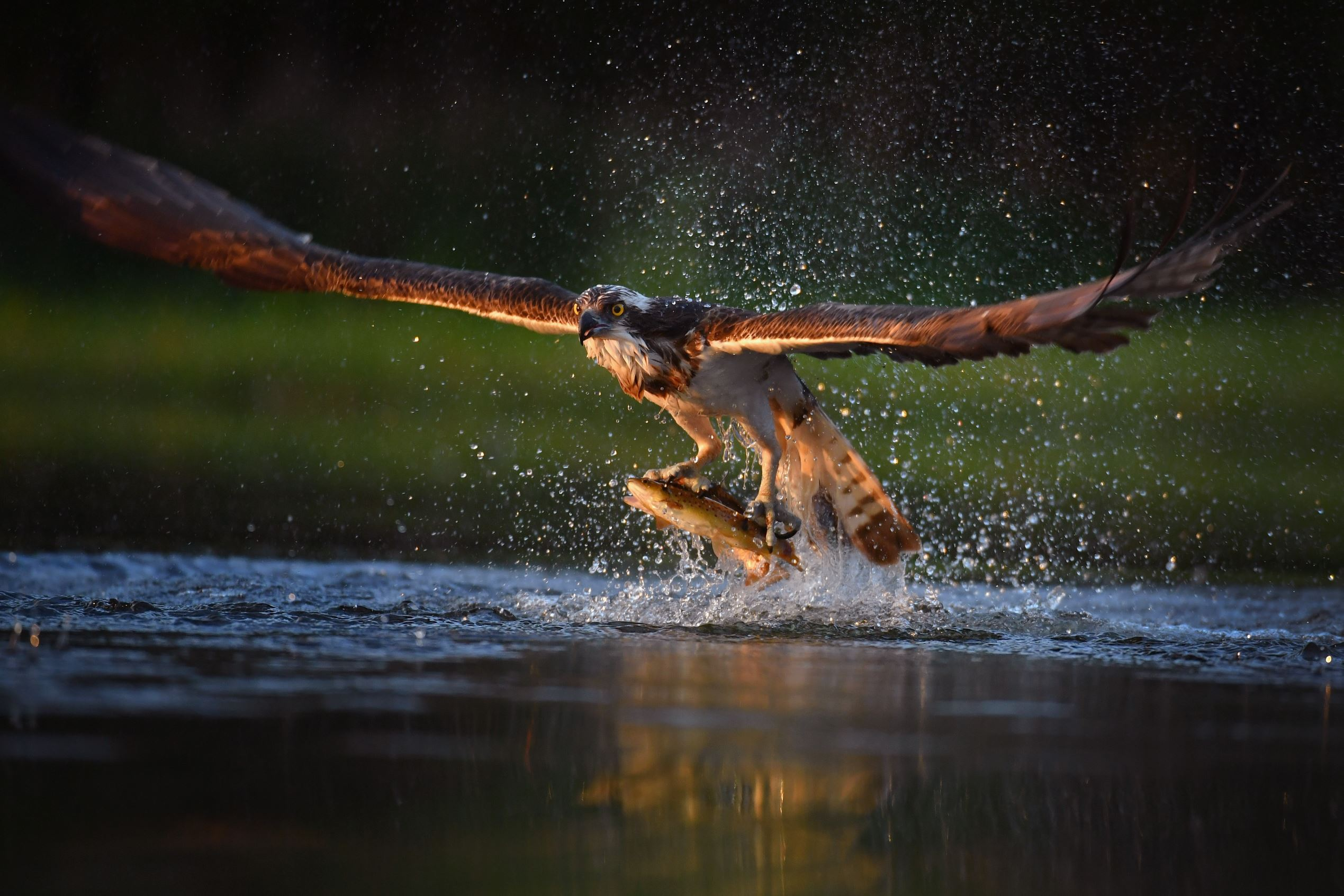 Слайд 21 из 67: AVIEMORE, SCOTLAND - JUNE 07:  An Osprey catches two Rainbow Trout at Rothiemurchus on June 6, 2016 in Kincraig, Scotland. Ospreys migrate each spring from Africa and nest in tall pine trees around the Aviemore area, the raptor was hunted to the point of