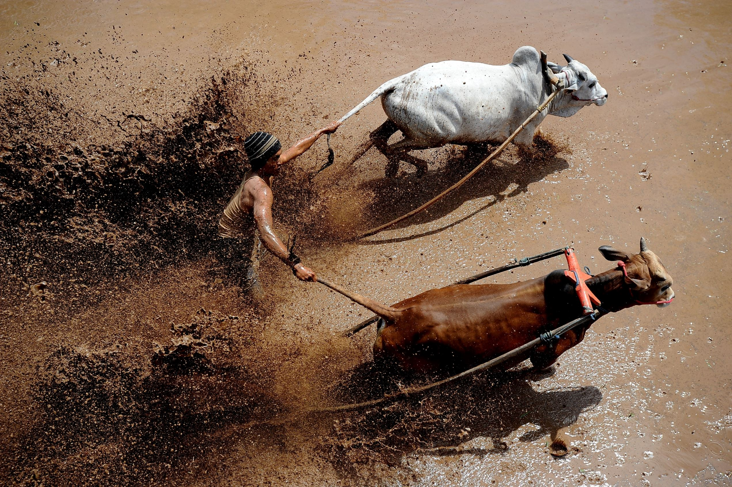 Слайд 7 из 67: A jockey spurs the cows during Pacu Jawi at Tabek village, Pariangan district on August 14, 2016 in Tanah Datar, Indonesia. Pacu Jawi (traditional cow racing) is held annually in muddy rice fields to celebrate the end of the harvest season by the Sumatrans people in Tanah Datar regency. Jockeys grab the tails of the bulls and skate across the mud barefoot balancing on a wooden plank to show the strength of their bulls who are later auctioned to buyers. This event has been around for hundreds of years and was originally an activity undertaken by the farmers after harvest season for leisure as well as a means of entertainment for local people and thanksgiving ritual before start planting season. Nowadays, this Pacu Jawi attracts both local and international tourists to come.