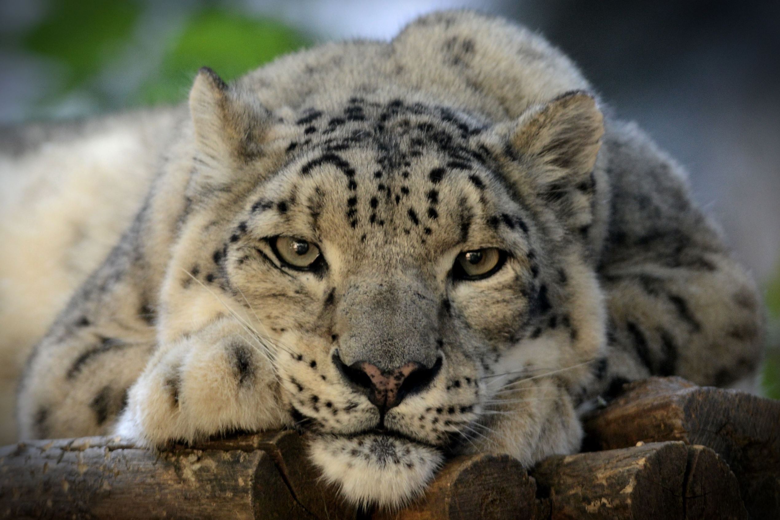 Слайд 1 из 67: Snow leopards at Jihlava Zoo, Czech Republic - 12 Sep 2016 A Snow leopard female called 'Jituse' in her enclosure at the Jihlava Zoo, Czech Republic.