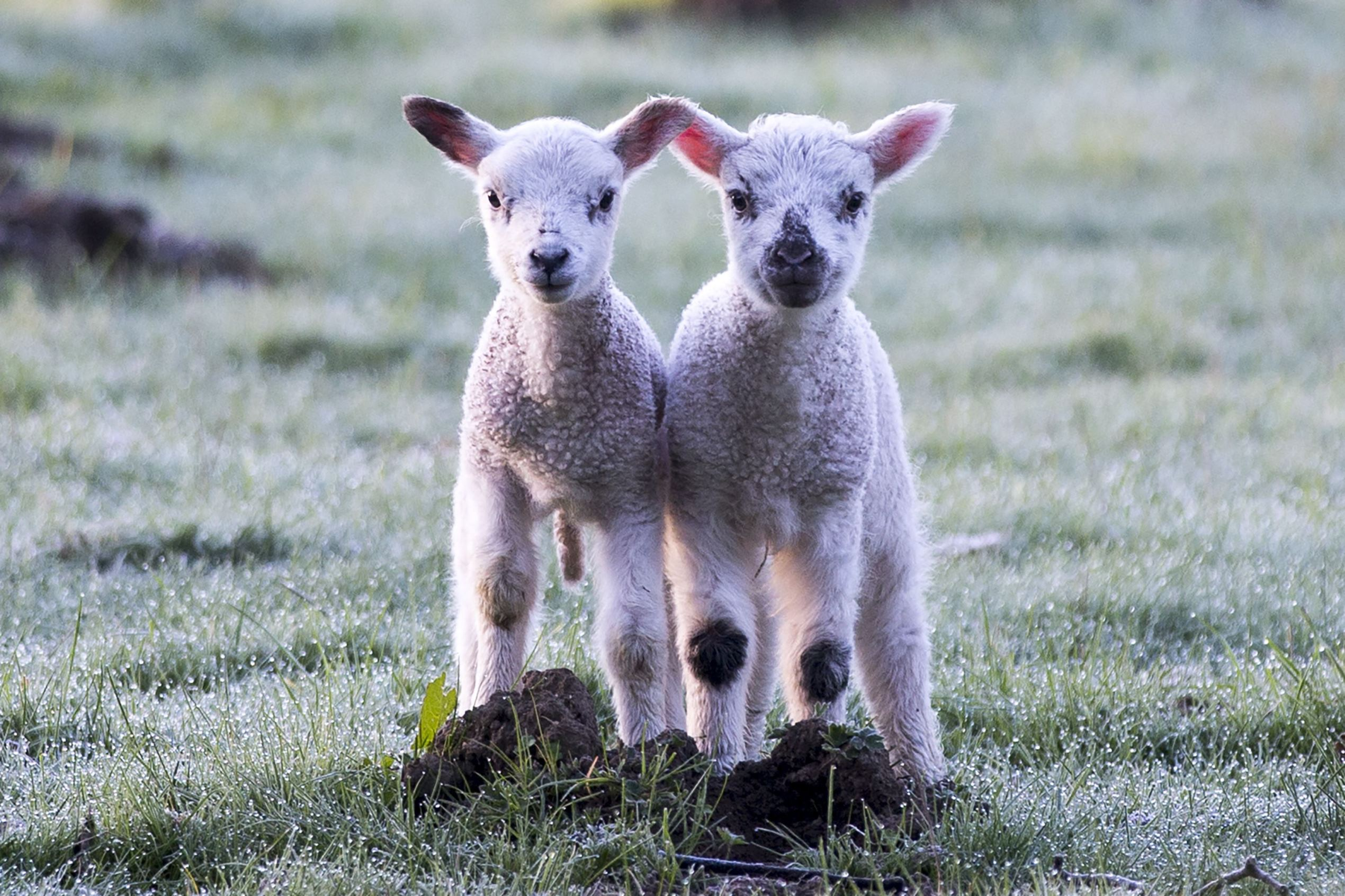 Слайд 40 из 67: Seasonal weather, Leeds, Britain - 19 Apr 2016 Two lambs stand in a frost covered field