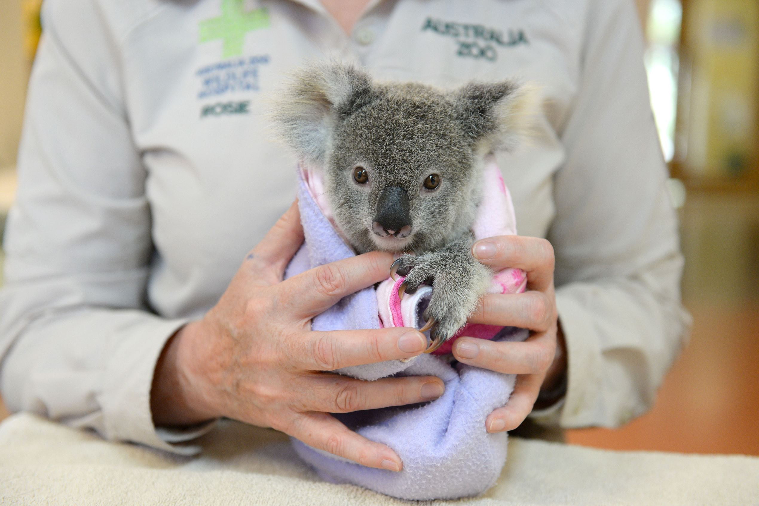 Слайд 2 из 67: Australia Zoo Wildlife Hospital prepares for yearly admission peak, Beerwah, Queensland, Australia - 19 Sep 2016 Shayne the koala joey and mother were hit by a car. The mother died