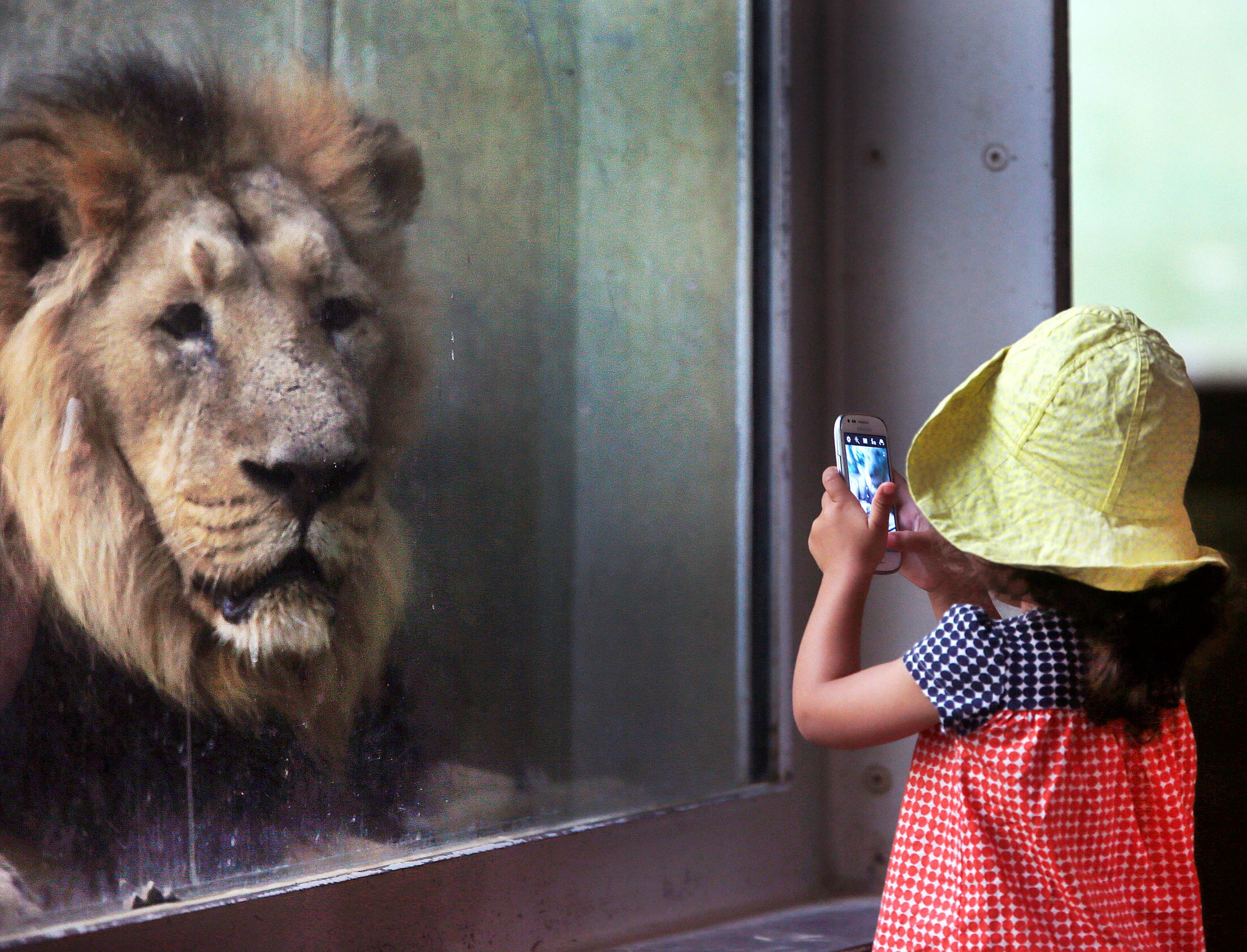 Слайд 12 из 67: A little girl takes a picture of a lion in the zoo in Frankfurt, Germany, Tuesday, Sept. 13, 2016. (AP Photo/Michael Probst)