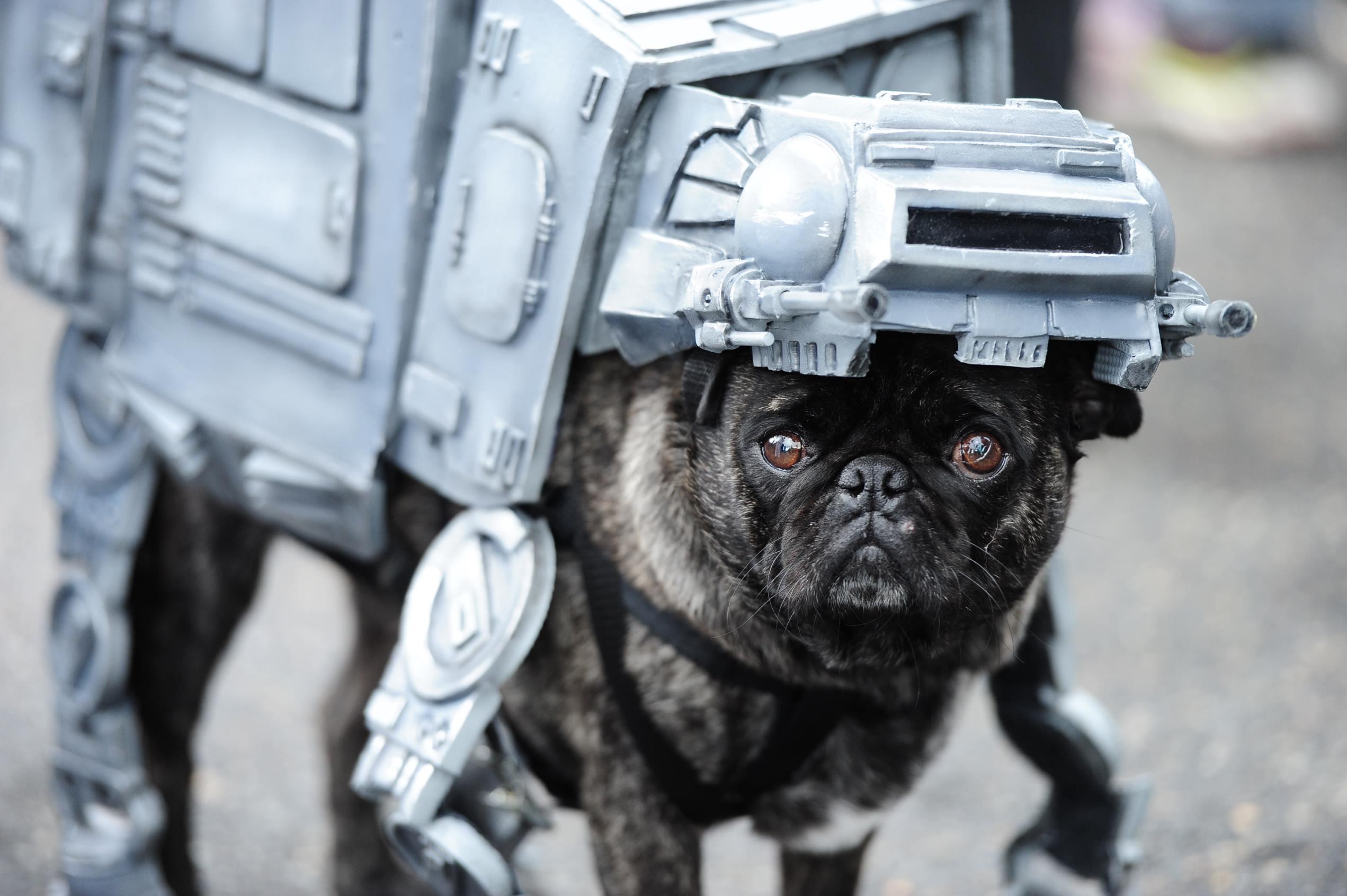 Слайд 20 из 67: Star Wars themed Pug Crawl, Portland, Oregon, America - 22 May 2016 A pug dressed as an AT-AT Walker