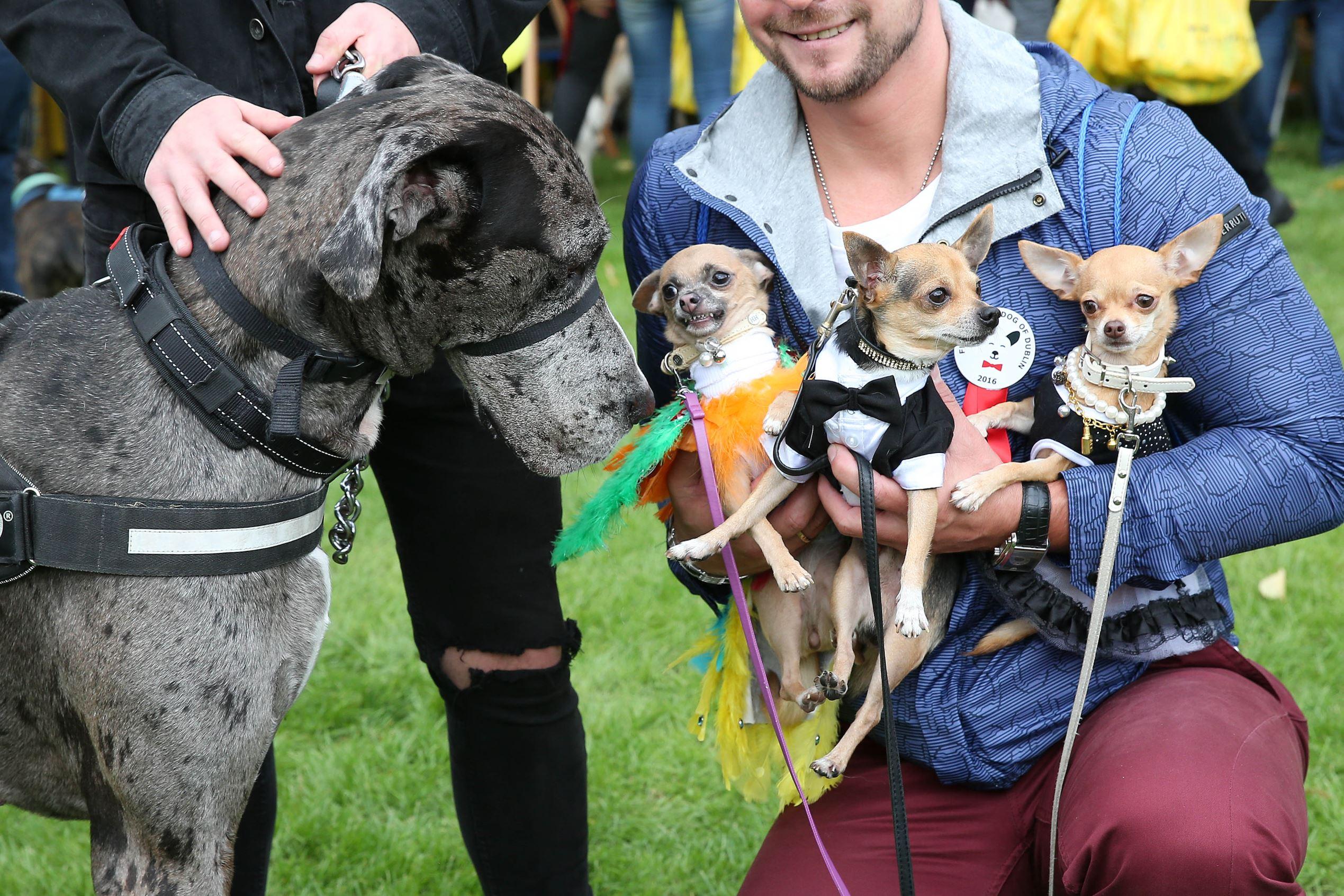 Слайд 9 из 67: The Doggie Do canine festival, Dublin, Eire - 11 Sep 2016 Tomas Liudvinavicius' Chihuahuas Rambo, Daisy and Chloe meet Theo Foley's dog Django
