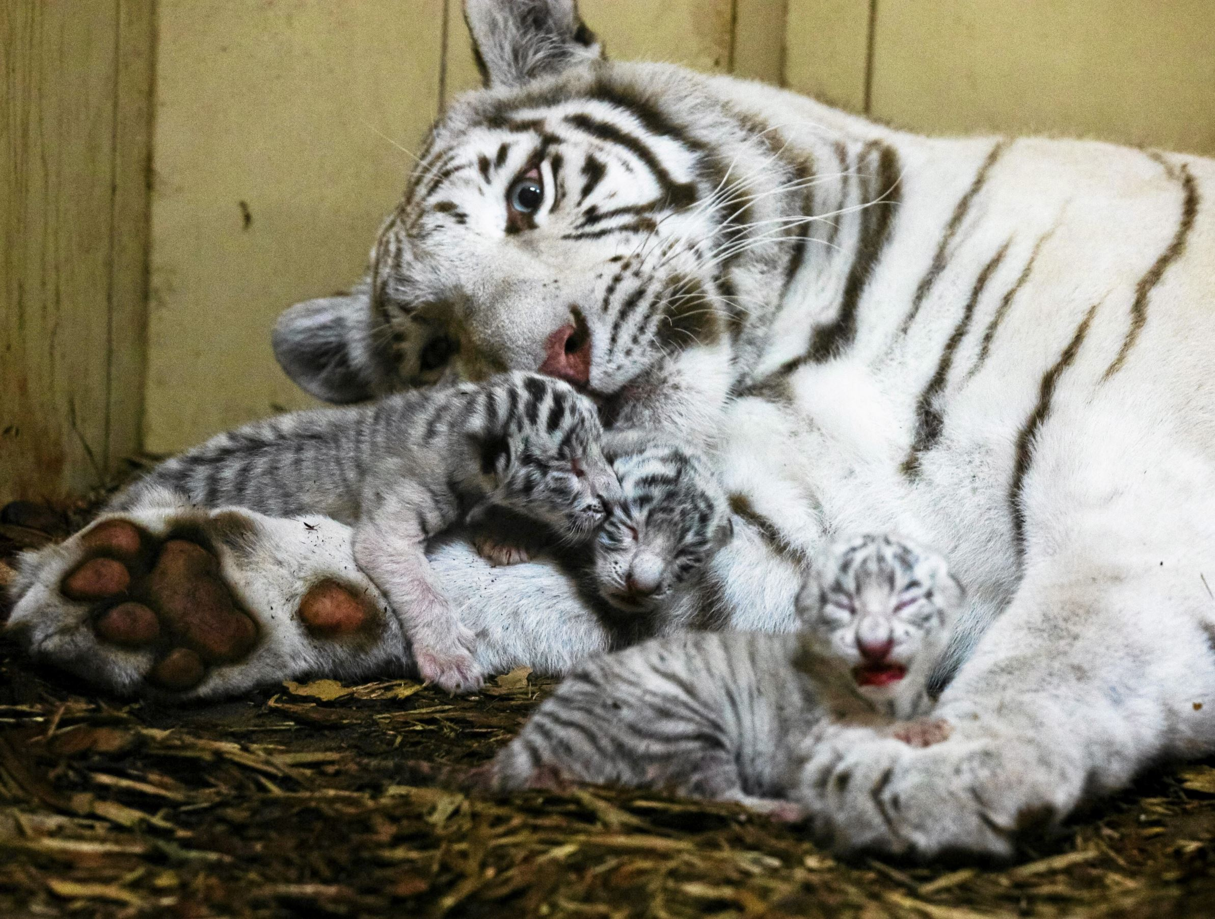 Слайд 16 из 67: Newborn white Bengal tiger cubs lie in a private zoo in Borysew near Lodz, Poland September 22, 2016. Picture taken September 22, 2016.