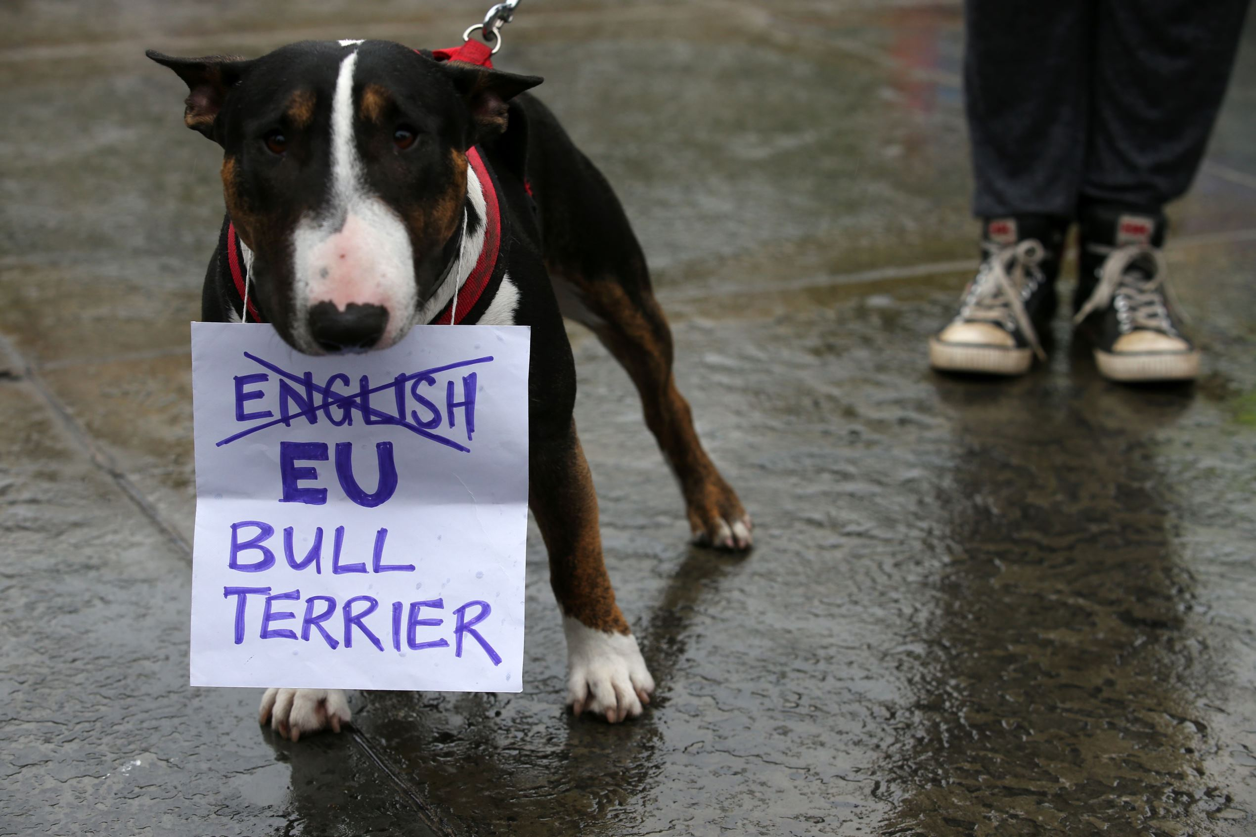 Слайд 26 из 67: A Bull Terrier called 'T-Bone' holds a placard in his mouth at an anti-Brexit protest in Trafalgar Square in central London on June 28, 2016.EU leaders attempted to rescue the European project and Prime Minister David Cameron sought to calm fears over B