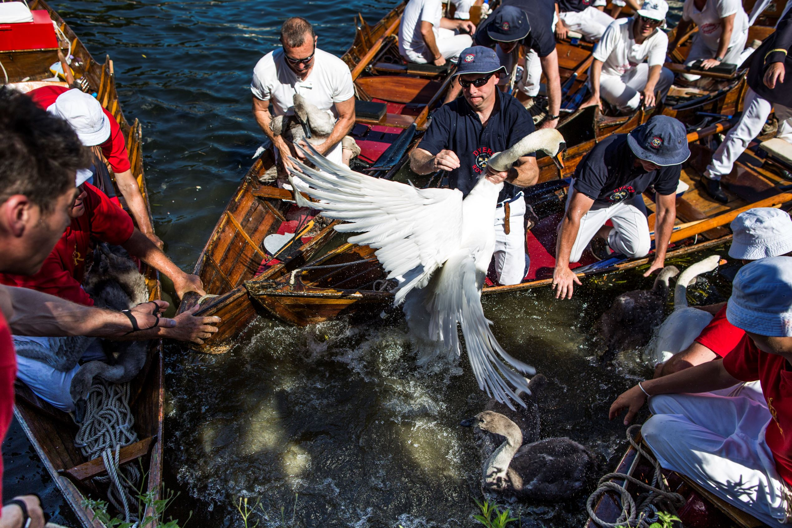 Слайд 18 из 67: LONDON, ENGLAND - JULY 18:  Swans and cygnets are rounded up to be weighed and tagged during the annual Swan Upping census on July 18, 2016 on the River Thames, South West London. The historic Swan Upping ceremony dates back to the 12th century, to when