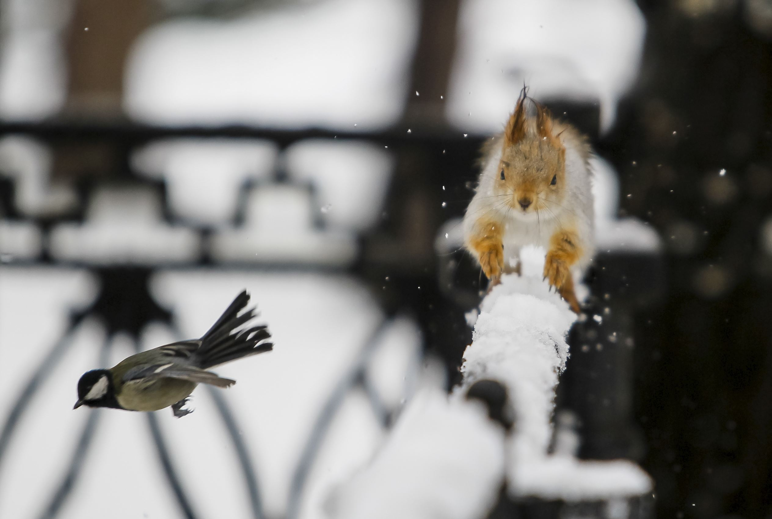 Слайд 65 из 67: A tomtit bird flies past a squirrel running on a fence after a snowfall in a park in Almaty, Kazakhstan, January 12, 2016.