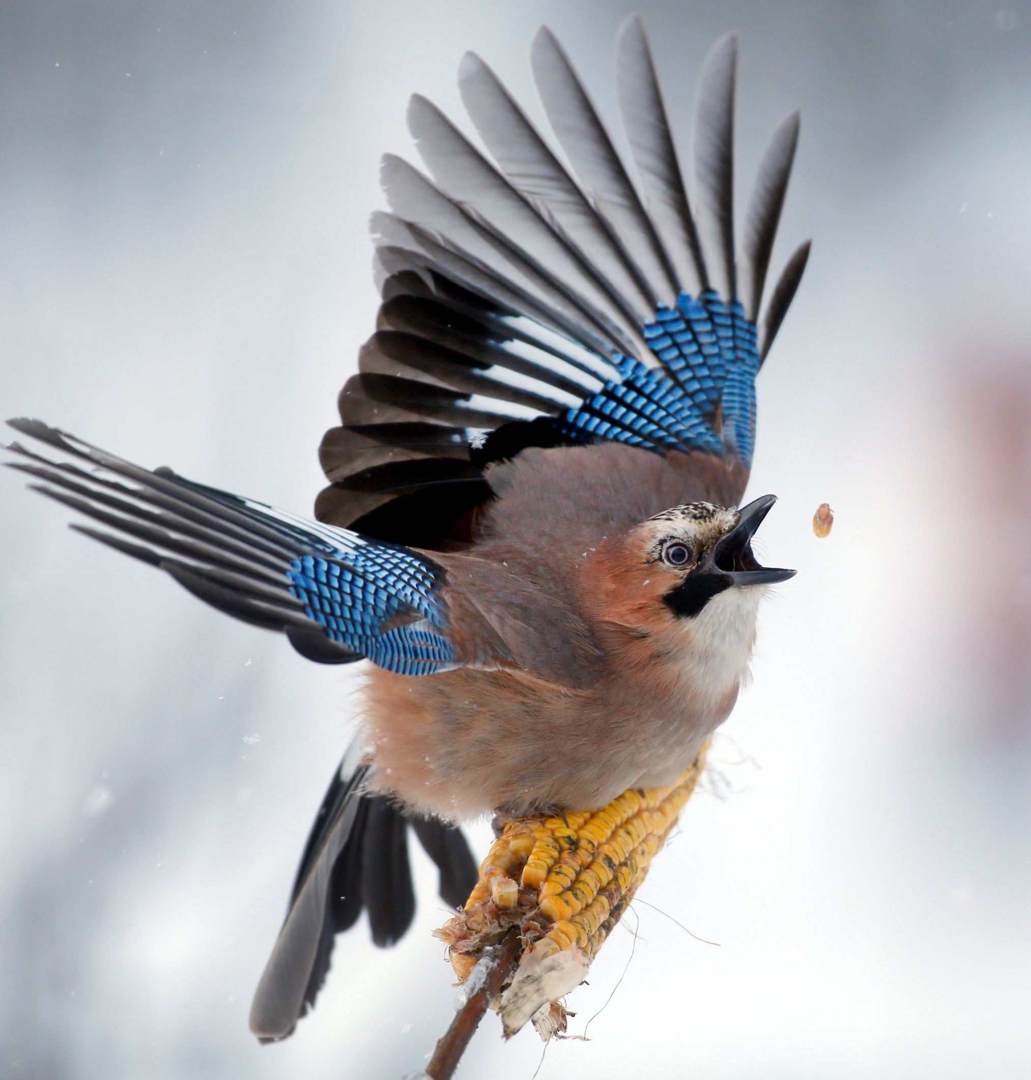 Слайд 59 из 67: A jay picks kernels in the forest on outskirts of Novogrudok, 150 km (93 miles) west of the capital Minsk, Belarus, Sunday, Jan. 17, 2016. (AP Photo/Sergei Grits)