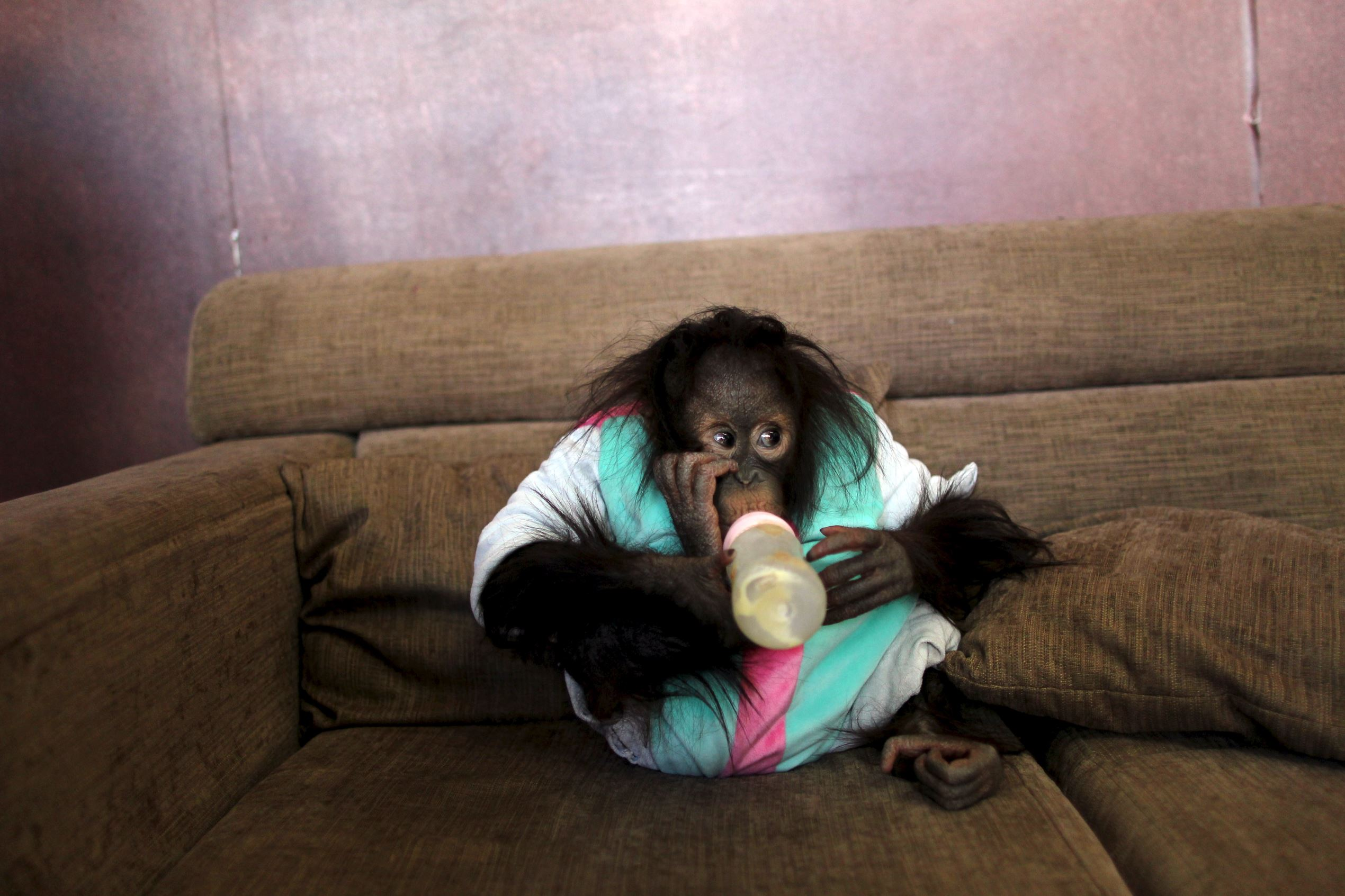 Слайд 67 из 67: An orangutan drinks milk on a couch at a studio, in Kunming, Yunnan province, February 14, 2016. Picture taken February 14, 2016.