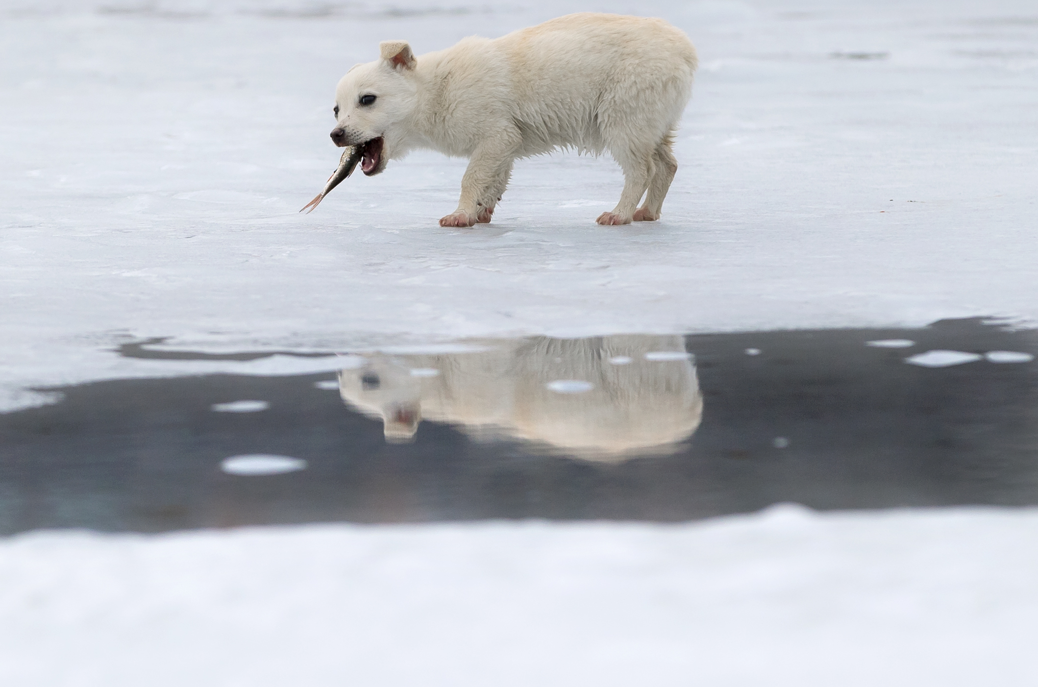 Слайд 57 из 67: A small dog is reflected in a puddle formed by melting ice while eating a fish it snatched from a fisherman on a lake in Cimiseni, Moldova, Friday, Jan. 29, 2016. Moldovans took advantage of the little time left before the ice becomes too thin, due to wa