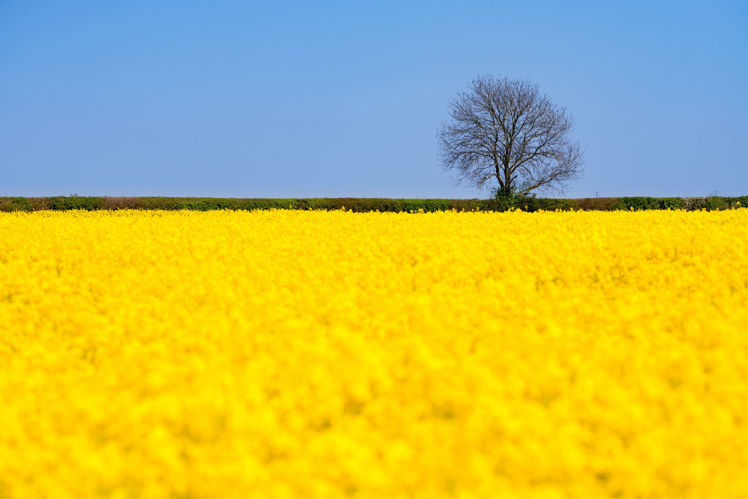 Слайд 45 из 86: A rapeseed field, Cambridgeshire Photographer Valerio Berdini captured a vibrant image of a rapeseed plantation in full bloom near Waterbeach in Cambridgeshire, Britain, yesterday (8 May 2016)