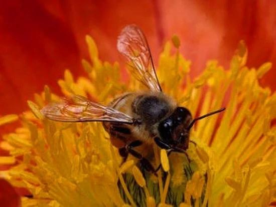 Bilinen 20.000 arı cinsinden sadece 4 tanesi bal yapar
