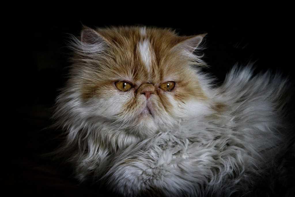 La raza felino persa