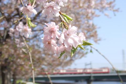 【特集】桜の写真2009