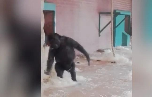 Un gorille danseur de ballet.