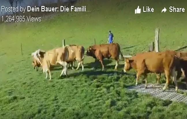 Ces vaches suisses ont fait rire Facebook.