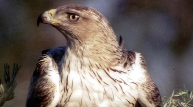 l aigle de bonelli est en danger