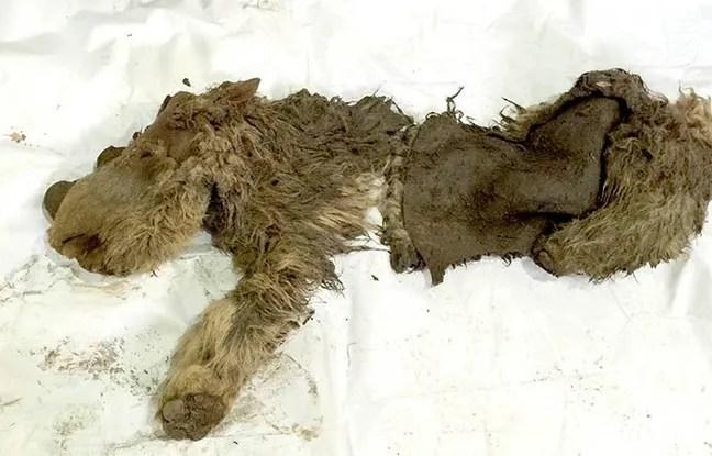Le rhinocéros laineux retrouvé en Sibérie.