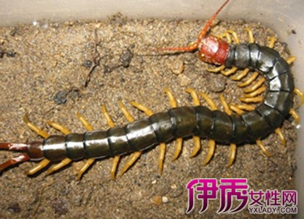 家裡有蜈蚣代表什麼徵兆嗎 這可是一個好兆頭 - 天天運勢