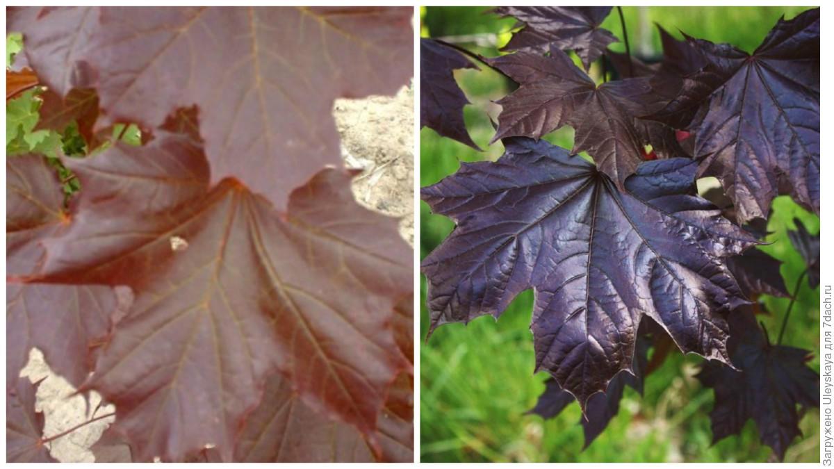 Perchè Acero Rosso Diventa Verde albero di acero con fogliame rosso. comunità di uomini verdi