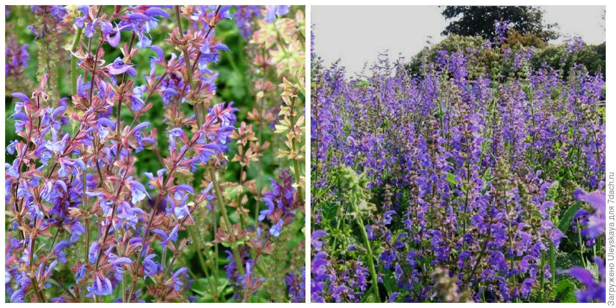 25 Samen Lavendel-Salbei Spanischer Lavendelblättriger Salvia lavandulifolia