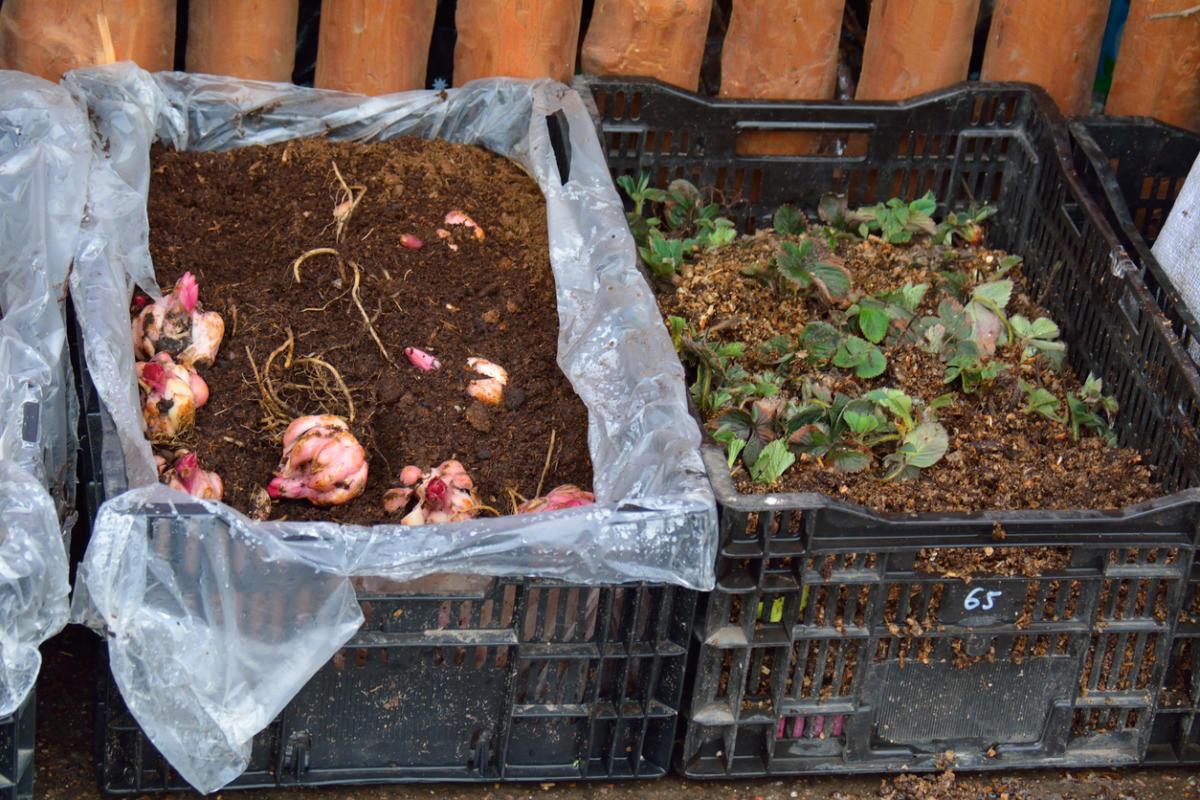 Как вырастить лилии из бульбочек. Чешуйками, бульбами, детками или семенами – как лучше размножать лилии? Место для посадки и подготовка почвы