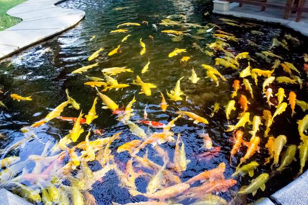 Мұндай тұқыды терең резервуарда (мүмкін болса) немесе ерекше жағдайларда аквариумда қыстау