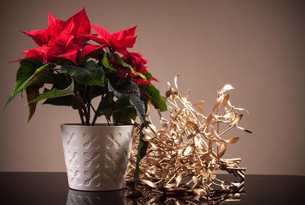Еще одно известное растение для Рождества - это пуансеттия
