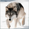 Wild Wolf Attack Simulator 3D Icon