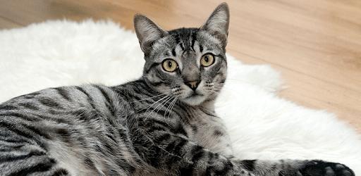 Cat Simulator Pet The Cat App apk