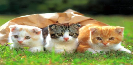 Kitten HD Wallpaper apk